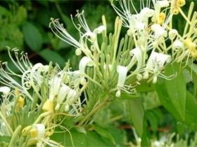 金银花的养殖方法和注意事项