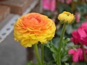 花毛茛是什么-花毛茛的花语