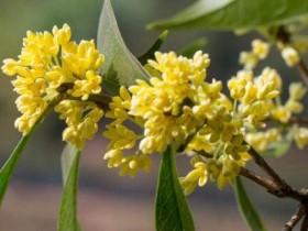 桂花哪个季节开-桂花有几种颜色
