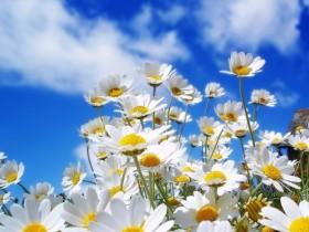 描写菊花的诗句