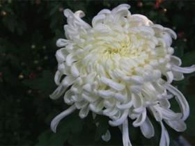 菊花不同的颜色都代表什么寓意