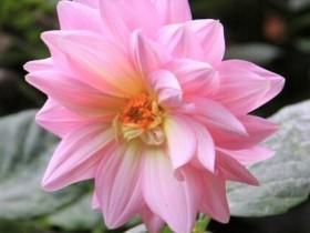 大丽菊的养殖方法和注意事项