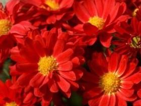 菊花有哪几种颜色