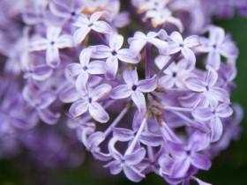 丁香花什么时候开花