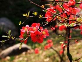 海棠花品种大全