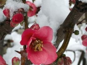 日本海棠什么时候开花