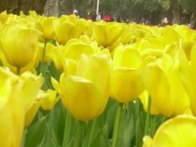 郁金香不同颜色的花语代表什么意思