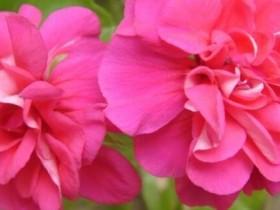 天竺葵与海棠花的区别