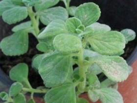 金枝玉叶的养殖方法和注意事项