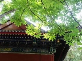 七叶树是什么-七叶树的介绍