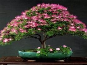 合欢树的象征意义
