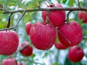 苹果树嫁接技术