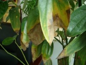 平安树叶子发黄是怎么回事