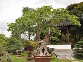 菩提树的养殖方法