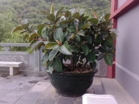 橡皮树多长时间浇水一次
