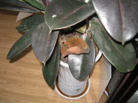 橡皮树叶子生病的原因和解决方法