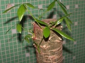 发财树的修剪与造型