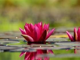 红莲花的象征和寓意