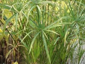 水竹叶子发黄的原因分析和处理方法