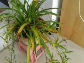 吊兰叶子发黄的原因和处理方法