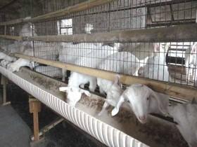 养羊的利润-养羊的成本与利润