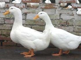 肉鸭养殖-肉鸭的养殖及管理方法