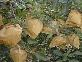 苹果套袋-苹果套袋的时间和方法