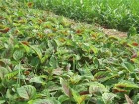 苋菜种植-苋菜的种植方法和时间