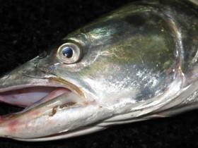 鳡鱼多少钱一斤-鳡鱼的市场价格及烹饪方法